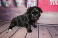 Alexus Female Miki $2000 Ready 6/21 AVAILABLE 1.2lbs 4 weeks old