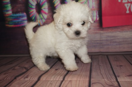 Benny Male CKC Maltese $1750 Ready 5/31 AVAILABLE 1.4 Lbs 5 Weeks Old