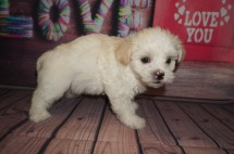 Danzo Male CKC Havanese $1750 Ready 6/5 AVAILABLE 1.15lbs 6 weeks old