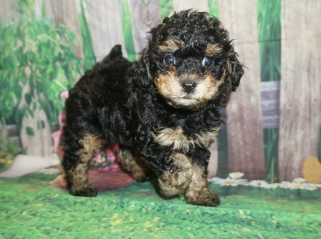 Dexter Male CKC Havapoo $2000 Ready 5/14 SOLD MY NEW HOME GREEN, OH 2.4 lbs 7W3D old