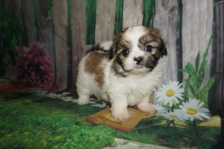 Giggles (Princess Rose) Female CKC Shorkie $1750 Ready 5/27 SOLD MY NEW HOME JACKSONVILLE, FL 1.12 lbs 5W4D Old
