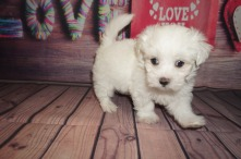 Ham Male CKC Maltese $1750 Ready 5/31SOLD MY NEW HOME ST AUGUSTINE, FL 1.13lbs 6wks4days old