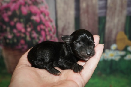 Milly Female CKC Schnoodle $1750 Ready 7/13 AVAILABLE 4.6 oz 2 day Old