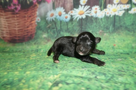 Molly Female CKC Schnoodle $1750 Ready 7/13 HAS DEPOSIT MY NEW HOME JACKSONVILLE, FL 6.5 oz 2 day Old