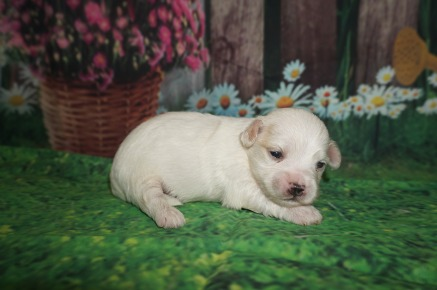 Nino Male Havanese $1750 Ready 6/29 AVAILABLE 1 lb 2 weeks Old
