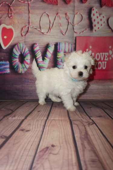 Smalls (Tripwire) Male CKC Maltese $2000 Ready 5/31 SOLD MY NEW HOME JACKSONVILLE, FL 1.10lbs 6wks4days old