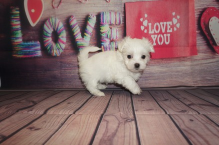 Squints Male CKC Maltese $2000 Ready 5/31 AVAILABLE 1.6lbs 6wks4days old