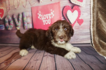 Trix Female Medium Aussie Labradoodle $2000 Ready 5/18 SOLD MY NEW HOME DALLAS, TX