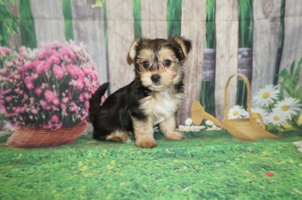 Twinkle Female CKC Havashire a/k/a Yorkinese $1750 Ready 5/25 HAS DEPOSIT MY NEW HOME STEPHENS SC 1.11 lbs 6 Weeks Old