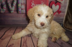 Fruity Pebbles Female Medium Aussie Labradoodle $2000 Ready 5/18 SOLD MY NEW HOME JACKSONVILLE, FL