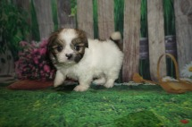 Giggles (Princess Rose) Female CKC Shorkie $1750 Ready 5/27 HAS DEPOSIT MY NEW HOME JACKSONVILLE, FL 1.12 lbs 5W4D Old