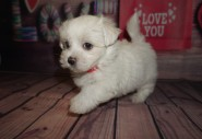 Ham Male CKC Maltese $1750 Ready 5/31 HAS DEPOSIT MY NEW HOME ST AUGUSTINE, FL 1.13lbs 6wks4days old