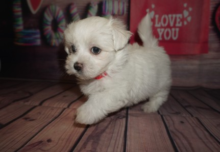 Ham Male CKC Maltese $1750 Ready 5/31 SOLD MY NEW HOME ST AUGUSTINE, FL 1.13lbs 6wks4days old