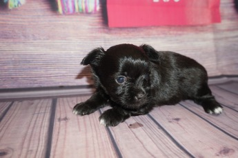 Jetta Female Miki $2000 Ready 6/21 AVAILABLE 1.4lbs 4 weeks old