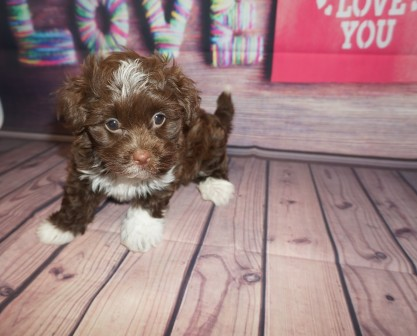 Nestle Quik Male CKC Havanese $2000 Ready 5/31 HAS DEPOSIT MY NEW HOME PONCE INLET, FL 2.5lbs 6wk5days old