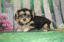 Star Female CKC Havashire a/k/a Yorkinese $2000 Ready 5/25 SOLD MY NEW HOME JACKSONVILLE, FL 1.5 lbs 6 weeks old