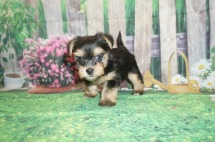 Sunshine Female CKC Havashire a/k/a Yorkinese $2000 Ready 5/25 SOLD MY NEW HOME PONTE VEDRA BEACH, FL 1.7 lbs 6 Weeks Old