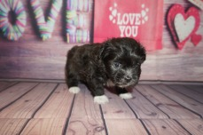 Boots Male CKC Miki $2000 Ready 6/13 HAS HAS DEPOSIT MY NEW HOME MOUNT GILEAD, OH 1.12lbs 5 weeks old