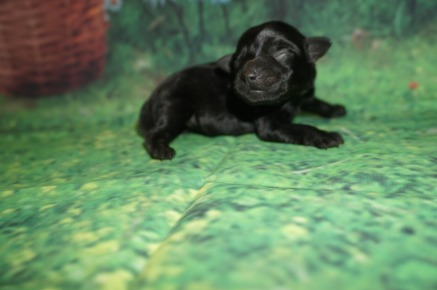 Maggie Female CKC Schnoodle $1750 Ready 7/13 AVAILABLE 5.9 oz 2 day Old
