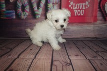 Yeah Yeah Male CKC Maltese $1750 Ready 5/31 AVAILABLE 1.12lbs 6wks4days old