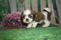 Darla (Leila) Female CKC Malshi $2000 Ready 5/24 SOLD MY NEW HOME ORANGE PARK, FL 1.15 lbs 6W1D Old