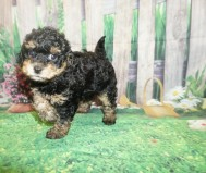 Dexter Male CKC Havapoo $2000 Ready 5/14 HAS DEPOSIT MY NEW HOME GREEN, OH 2.4 lbs 7W3D old