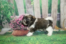 Squirt Male CKC Malshi $2000 Ready 5/24 SOLD MY NEW HOME JACKSONVILLE, FL 1.8 lbs 6W1D Old
