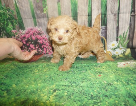 Toddy Female CKC Havapoo $2000 Ready 5/14 SOLD MY NEW HOME Oxford, MS 2.6 lbs 7W3D old