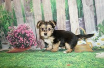 Twinkle Female CKC Havashire a/k/a Yorkinese $1750 Ready 5/25 SOLD MY NEW HOME STEPHENS SC 1.11 lbs 6 Weeks Old
