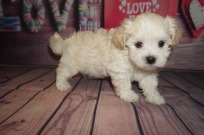 Mambo Male CKC Havanese $1750 Ready 6/5 AVAILABLE 2.3lbs 6 weeks old