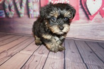 Moon Dust Male CKC Havashire a/k/a Yorkinese $2000 Ready 5/25 SOLD MY NEW HOME JACKSONVILLE, FL 2.4 lbs 8 Weeks Old