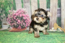 Sky Female CKC Havashire a/k/a Yorkinese $2000 Ready 5/25 SOLD MY NEW HOME ORANGE PARK, FL 1.2 lbs 6 Weeks Old