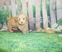 Toddy Female CKC Havapoo $2000 Ready 5/14 HAS DEPOSIT MY NEW HOME Oxford, MS 2.6 lbs 7W3D ol
