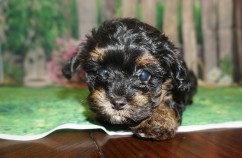 Egypt Female CKC Havapoo $1750 Ready 5/14 SOLD MY NEW HOME JACKSONVILLE, FL 1.13 lbs 7W3D old