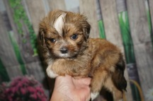 HaHa (Tyrion) Male CKC Shorkie $1750 Ready 5/27 HAS DEPOSIT! MY NEW HOME IS IN LADSON,SC! 1.14 lbs 5W4D Old