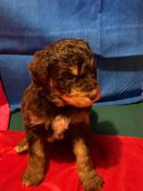 Lucky Charms (Dawson) Male Medium Aussie Labradoodle $2000 Ready 5/18 SOLD MY NEW HOME JACKSONVILLE, FL