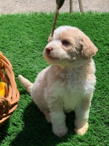 Fruity Pebbles Female Medium Aussie Labradoodle $2000 Ready 5/18 AVAILABLE