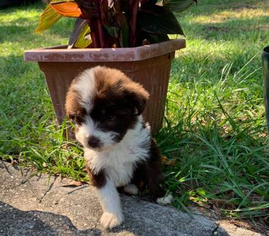 Count Chocula Male Medium Aussie Labradoodle $2000 Ready 5/18 AVAILABLE
