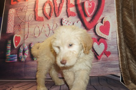 Honey Comb (Tilly) Female Medium Auusie $2000 Ready 5/18 SOLD MY NEW HOME JACKSONVILLE, FL