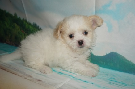 Buttons Male CKC Miki $2000 Ready 6/13 SOLD MY NEW HOME JACKSONVILLE, FL 1.9lbs 6wk3d old