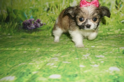 Caddy Female Miki $2000 Ready 6/21 HAS DEPOSIT MY NEW HOME ST AUGUSTINE, FL 1.3 lbs 7W3D Old
