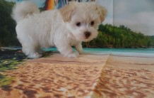 ChaCha (Ella)Female CKC Havanese $1750 Ready 6/5 SOLD MY NEW HOME PONTE VEDRA BEACH, FL 2.4 lbs 7W4D Old