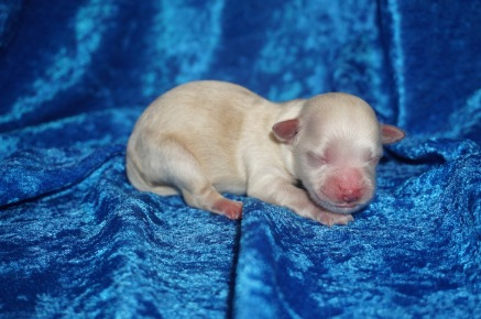 Cheese Stick Male CKC Shihpoo $1750 Ready 8/3 AVAILABLE 5.5 oz 1 Day Old