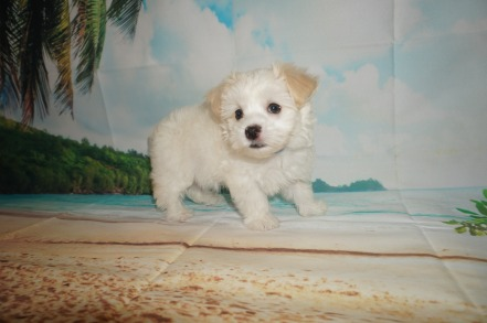 Danzo (Rocket) Male CKC Havanese $1750 Ready 6/5 HAS DEPOSIT MY NEW HOME JACKSONVILLE, FL 2.9 lbs 7W4D Old