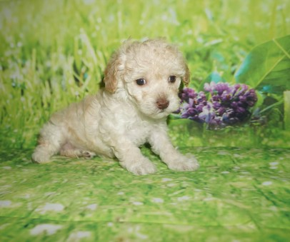 Honey Female CKC Maltipoo $1750 Ready 7/6 HAS DEPOSIT MY NEW HOME KINGSLAND, GA 1.10 lbs 5W2D Old