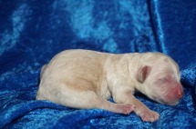 Hot Dog Male CKC Shihpoo $1750 Ready 8/3 AVAILABLE 6.4 oz 1 Day Old