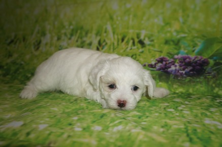 Lacey Female CKC Maltipoo $1750 Ready 7/11 HAS DEPOSIT MY NEW HOME PORT ORANGE, FL 2 LBS 4W4D Old