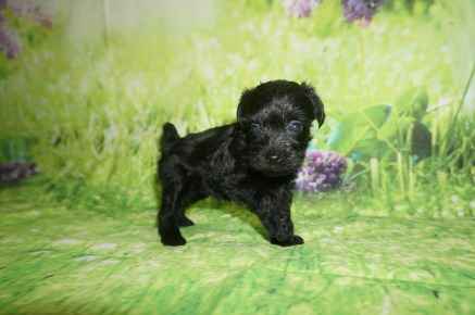 Maggie Female CKC Schnoodle $1750 Ready 7/13 AVAILABLE 1.3 LBS 4W5D Old