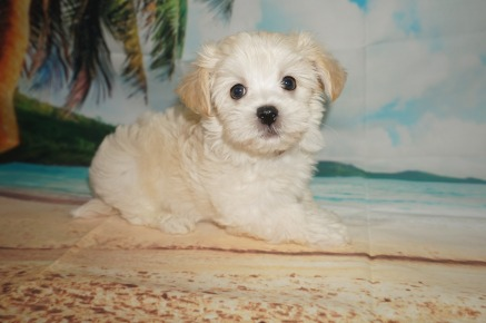 Mambo Male CKC Havanese $1750 Ready 6/5 SOLD MY NEW HOME ST SIMON ISLAND 2.11lbs 7W4D Old