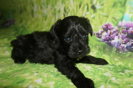 Milly Female CKC Schnoodle $1750 Ready 7/13 HAS DEPOSIT MY NEW HOME ST JOHNS, FL 1.2 lbs 4W5D Old
